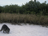 Raccoon Exploring a Sandy Beach in a Saltmarsh Habitat  Procyon Lotor  Southern USA