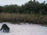 Raccoon Exploring a Sandy Beach in a Saltmarsh Habitat  Procyon Lotor  Southern USA