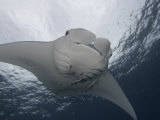 Manta Ray (Manta Birostris) with Remoras on its Fins  Micronesia