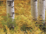 Fall Ferns at the Base of Quaking Aspen Trees  Populus Tremuloides  Colorado  USA