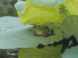 American Bullfrog (Rana Catesbeiana) on a Water Lily Pad  North America
