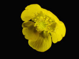 Meadow Buttercup Flower