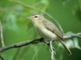 Warbling Vireo (Vireo Gilvus) in a Cottonwood  North America