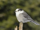A Gray Jay  Perisoreus Canadensis  North America