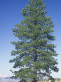 Ponderosa Pine  Pinus Ponderosa  Western USA