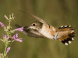 Rufous Hummingbird Female (Selasphorus Rufus) Feeding at a Hyssop Flower (Agastache)  Arizona  USA