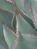 Succulent Leaves and Protective Spines of Shaw's Century Plant  Agave Shawii  California  USA