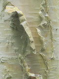 White or Paper Birch Bark  Betula Papyrifera  North America