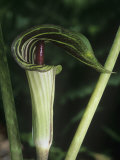 Jack-In-The-Pulpit  Arisaema Atrorubens  Eastern North America