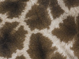 Close Up of the Color Pattern on Reticulated Giraffe Fur (Giraffa Camelopardalis Reticulata)