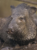 Javelina or Peccary Drinking in a Small Muddy Waterhole  Pecari Tajacu  Southwestern USA