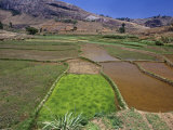 Rice Paddies  Oryza Sativa  Andrambaky Mountain  Madagascar  Africa