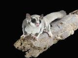 Sugar Glider  Petaurus Breviceps  a Marsupial Mammal from Australia