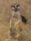 A Meerkat Lookout Near its Den Opening  Suricata Suricatta  Southern Africa