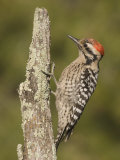Ladder-Backed Woodpecker Male (Picoides Scalaris) on a Lichen-Covered Snag  Arizona  USA
