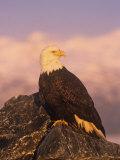Bald Eagle Perched on Rocks (Haliaeetus Leucocephalus)  North America