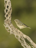 Ruby-Crowned Kinglet on a Cholla Cactus Skeleton (Regulus Calendula)  Arizona  USA