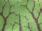 Hairs on the Leaf of a Purple Pitcher Plant  Sarracenia Purpurea  North America
