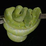 Green Tree Python    Chondropython Viridis  Heat Sensory Pits  Australia  New Guinea