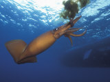 Humboldt Squid Nine-Mile Bank Off San Diego  California  Usa  Pacific Ocean