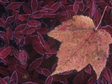 Fall Maple Tree Leaf  Acer  on Frosted Blueberry Leaves  North America