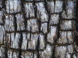 Close-Up of the Bark of an Alligator Juniper  Juniperus Deppeana  Southwestern North America