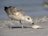 Herring Gull Juvenile (Larus Argentatus) Scavenging a Fish on Shore  Florida  USA