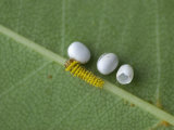 Silkmoth Eggs and a Newly Hatched Caterpillar (Rothschildia Orizaba) Ecuador
