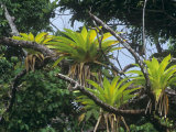 Epiphytic Bromeliads Have Overlapping Leaf Bases That Form Reservoirs Which Collect Rain Water
