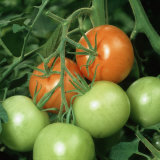 Ripe and Ripening Tomatoes (Lycopersicon Esculentum)
