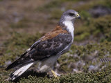 Red-Backed Buzzard  Buteo Polyosoma  Falkland Islands