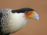 Crested Caracara 9Carabara Plancus  Head with Red Dirt  Texas  USA
