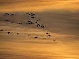 Flock of Sandhill Cranes at Sunset