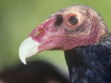 Turkey Vulture Head  Cathartes Aura  North America