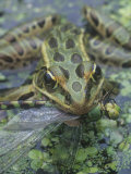 Leopard Frog  Rana Pipiens  with a Captured Dragonfly  North America