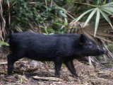 Wild Hog  Sus Scrofa  Southern USA