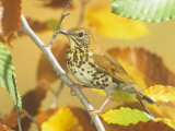 Wood Thrush (Hylocichla Mustelina) in a Fall Beech Tree Eastern USA