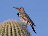 Gilded Flicker (Colaptes Chrysoides) Adult Male  Arizona  USA