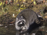 Raccoon Washing its Hands and Food in a Forest Pond or Stream (Procyon Lotor)  North America