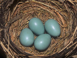 Robin Eggs in the Nest  Turdus Migatorius  USA
