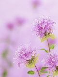Bee Balm or Bergamot Flowers (Monarda Fistulosa)  North America