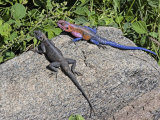 Common Agama Lizards  Agama Agama  Serengeti  Tanzania  East Africa