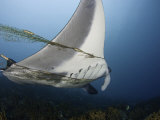 This Manta Ray (Manta Birostris) Is Entangled in and Towing a Fisherman's Net  Yap  Micronesia