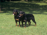 Rottweiler Variety of Domestic Dog