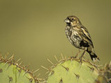 A Lark Bunting  Calamospiza Melanocorys  Arizona  USA