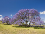 Lavender-Colored Blossoms on Jacaranda Trees (Jacaranda Mimosifolia) in a Field  Maui  Hawaii  USA