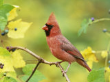 Male Northern Cardinal (Cardinalis Cardinalis) in a Grape (Vitis)  North America
