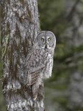 Great Gray Owl  Strix Nebulosa  North America