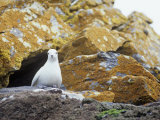 Snow Petrel on its Cliffside Nest  Pagodroma Nivea  South Orkney Islands