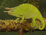 Usambara 3-Horn Chameleon  Chamaeleo Deremensis